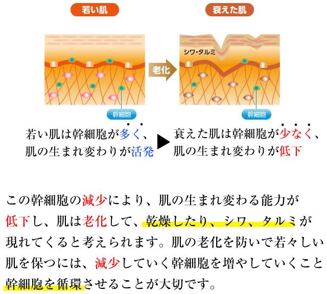 幹細胞を循環させる事